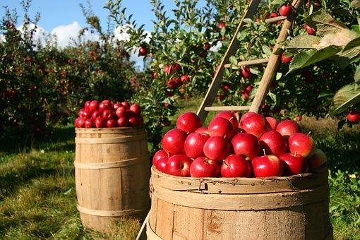りんご果樹園